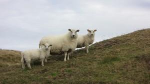 Drie schapen terwijl wij hoppen van eilandje naar eilandje